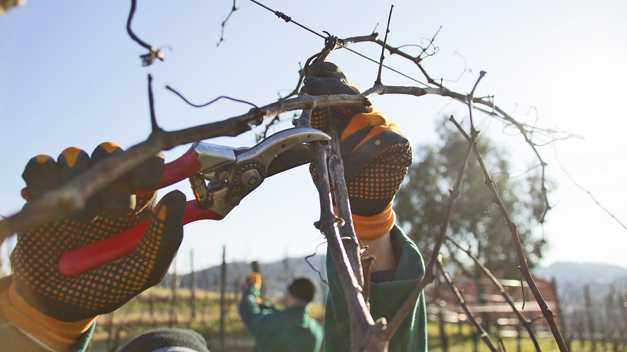 Time for winter pruning in the vineyard.