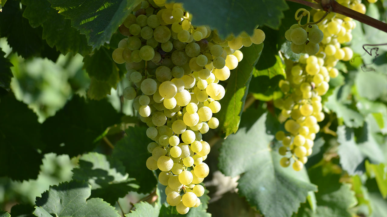 Our high-quality grapes in late August.