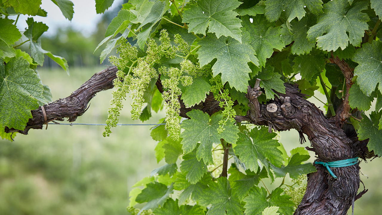 Clusters of green grapes in the spring.