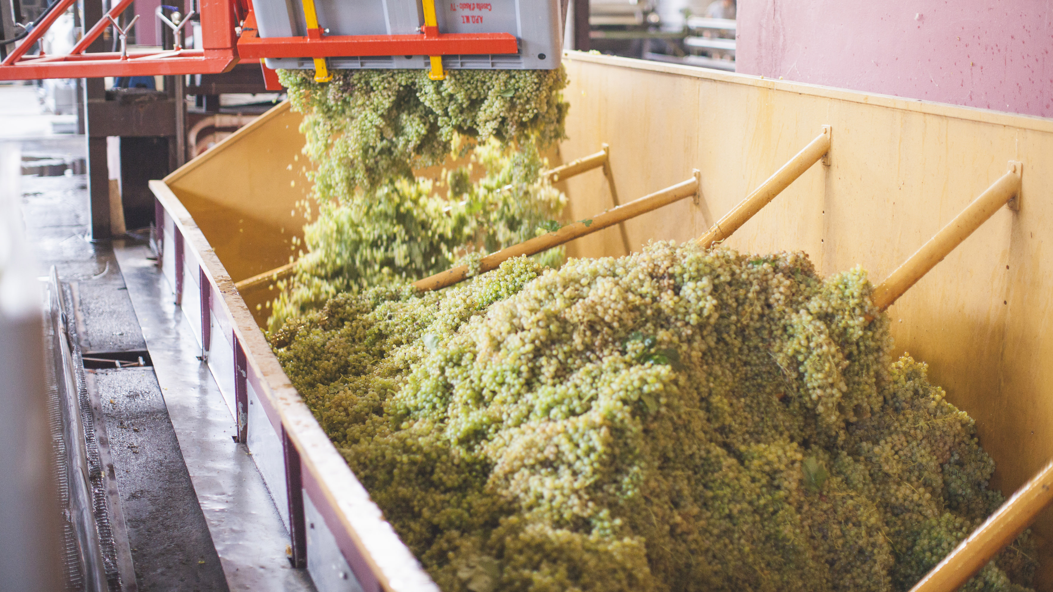 Crushing the grapes after the harvest.